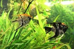 Poissons d'aquarium : couples de scalaire dans l'eau parmi des algues Images libres de droits