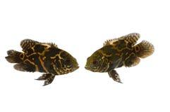 Poissons d'aquarium dans l'amour Images stock