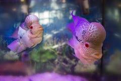 Poissons d'aquarium de cichlid de Flowerhorn Image stock