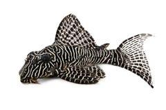 Poissons d'aquarium de PS Plecostomus de Hypostomus d'arabesque de la Reine du poisson-chat L-260 de Pleco photos libres de droits