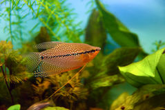 Poissons d'aquarium, gourami de perle Photo stock