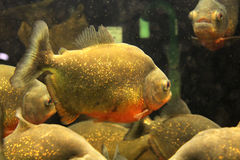 Poissons d'aquarium : Piranhas dans l'aquarium Images stock