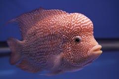 Poissons d'aquarium, poissons de klaxon de fleur Photographie stock