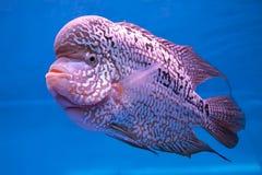 Poissons d'aquarium, poissons de klaxon de fleur Photos libres de droits