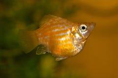 Poissons d'aquarium populaire photographie stock libre de droits