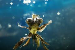 poissons d'aquarium tropicaux photographie stock
