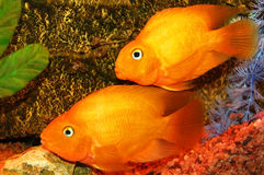 Poissons d'or d'aquarium Image stock