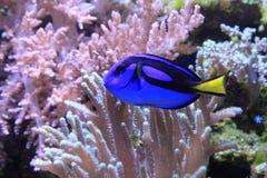 Poissons d'eau de mer exotiques Image libre de droits