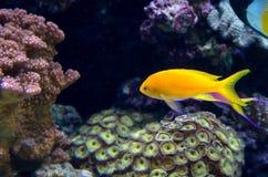 Poissons d'eau de mer tropicaux Images stock