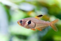Poissons d'eau douce naturels en gros plan Rosy Tetra d'aquarium modèle, fond mou de plantes vertes de texture& Photos stock