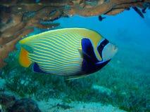 poissons d'empereur Photo libre de droits