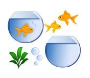 Poissons d'or et cuvette de poissons Images libres de droits