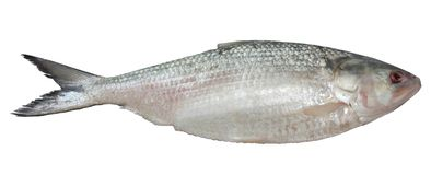Poissons d'Ilish d'isolement sur le blanc photo libre de droits