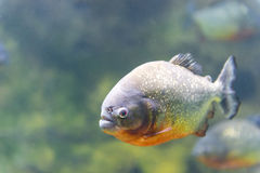 Poissons dangereux de piranha photographie stock