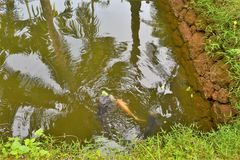 Poissons dans l'étang, mur en pierre de boue, ondulations Photo libre de droits