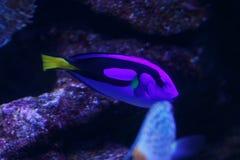 Poissons dans l'aquarium Photos libres de droits