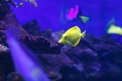 Poissons dans l'aquarium Images stock