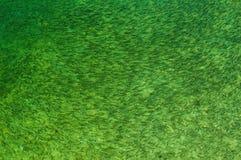 Poissons dans l'eau douce verte Photos stock