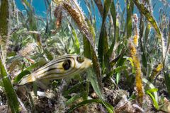 Poissons dans l'herbe de mer Image libre de droits