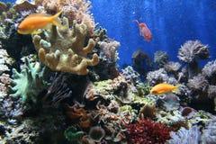 Poissons dans le corail Photographie stock libre de droits