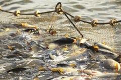 Poissons dans le fishnet Images libres de droits