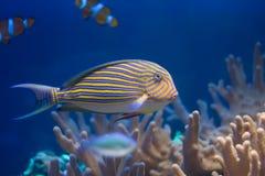 Poissons dans les coraux image libre de droits