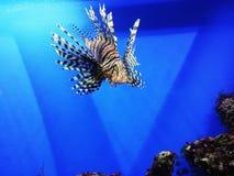 Poissons dans un aquarium, rascasse Photographie stock libre de droits