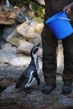 Poissons de attente de pingouin Images stock