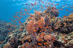 Poissons de banc sur le récif coralien Images stock