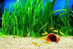 Poissons de bavure d'or dans un aquarium Photos libres de droits