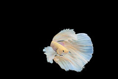 Poissons de Betta Images libres de droits
