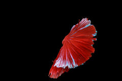Poissons de Betta photographie stock