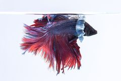 Poissons de Betta, poissons de combat siamois d'isolement sur le fond blanc photographie stock