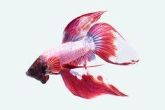 Poissons de Betta, poissons de combat siamois d'isolement sur le fond blanc image libre de droits
