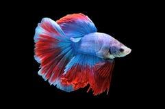 Poissons de Betta, poissons de combat siamois, splendens de betta d'isolement sur le fond noir, poisson sur le fond noir, combat  Images libres de droits