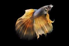 Poissons de Betta, poissons de combat siamois, splendens de betta d'isolement sur le fond noir, poisson sur le fond noir, combat  Photos libres de droits