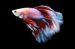 Poissons de Betta, poissons de combat siamois, splendens de betta d'isolement sur le fond noir, poisson sur le fond noir, combat  Image stock