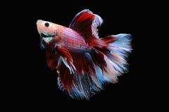 Poissons de Betta, poissons de combat siamois, splendens de betta d'isolement sur le fond noir, poisson sur le fond noir, combat  Images stock