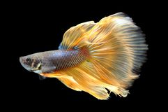 Poissons de Betta, poissons de combat siamois, splendens de betta d'isolement sur le fond noir, poisson sur le fond noir, combat  Image libre de droits