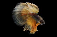Poissons de Betta, poissons de combat siamois, splendens de betta d'isolement sur le fond noir, poisson sur le fond noir, combat  Photo stock