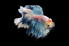 Poissons de Betta, poissons de combat siamois, splendens de betta d'isolement sur le fond noir, poisson sur le fond noir, combat  Photographie stock