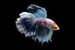 Poissons de Betta, poissons de combat siamois, splendens de betta d'isolement sur le fond noir, poisson sur le fond noir, combat  Photographie stock libre de droits
