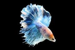 Poissons de Betta, poissons de combat siamois, splendens de betta d'isolement sur le fond noir, poisson sur le fond noir, combat  Photo libre de droits