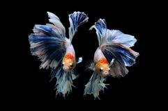 Poissons de Betta, poissons de combat siamois, splendens de betta d'isolement sur le fond noir, poisson sur le fond noir, combat  Photos stock