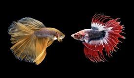 Poissons de Betta, poissons de combat siamois d'isolement sur le noir image libre de droits