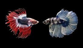 Poissons de Betta, poissons de combat siamois d'isolement sur le noir images stock