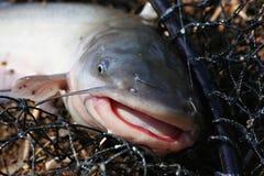 poissons de canal de chat images libres de droits