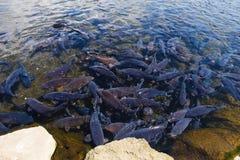 poissons de carpe dans l'étang, Yamanashi photo libre de droits