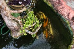 Poissons de carpe de Koi nageant dans un étang photo stock