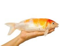 Poissons de carpe, poissons de koi en main Images stock